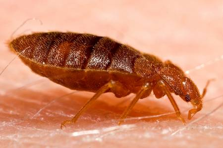 bed_bug-1